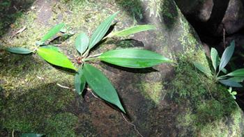 Aridarum-crasum-Borneoexifremover.com(48).jpg